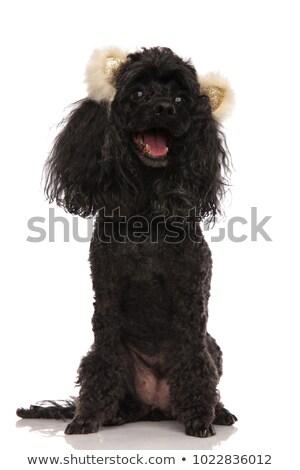 Felice nero barboncino indossare orso orecchie Foto d'archivio © feedough
