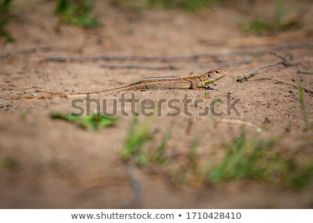 Stock photo: Yellow lizard in nature on the sand in the sunny day