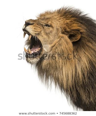 mean lion head stock photo © krisdog