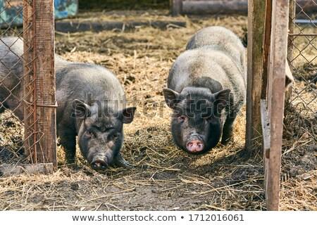 The vietnamese pigs Stock photo © olira