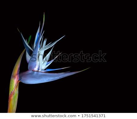 Magnificent strelitzia flower isolated on white. Big tropical flower. Stock photo © oksanika