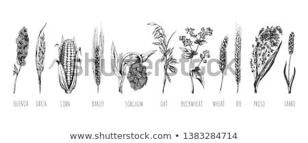 trigo · orelhas · mãos · fresco · verde · branco - foto stock © bbbar