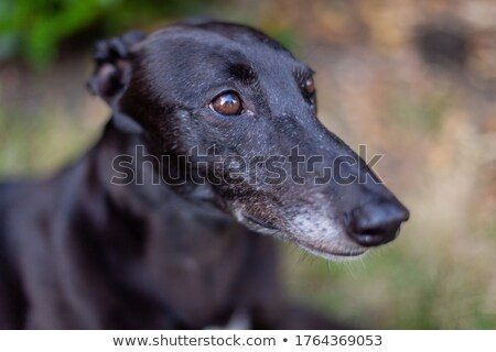 Stock photo: Greyhound closeup