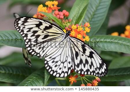 gyönyörű · citromsárga · pillangó · extrém · közelkép · makró - stock fotó © macropixel