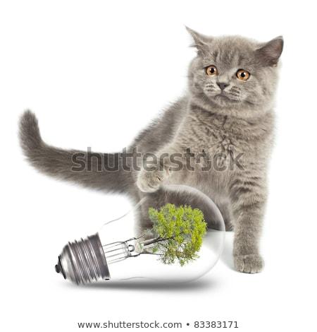 gatito · medio · ambiente · bombilla · británico · aislado · blanco - foto stock © vlad_star