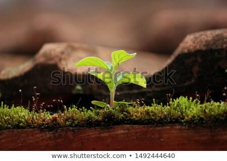 Indian old roof soil tiles Stock photo © ziprashantzi
