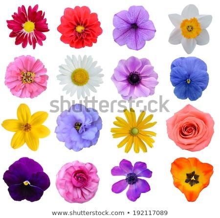 pansy flower isolated stock photo © danny_smythe