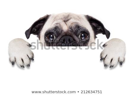 aranyos · kutya · tart · üres · tábla · Boston · terrier - stock fotó © lightsource