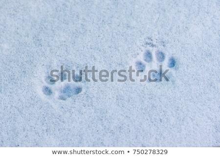 Poesje voetafdruk sneeuw textuur achtergrond Stockfoto © Nneirda