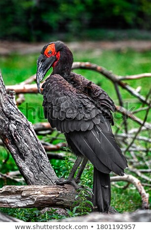 Southern Ground Hornbil Stock photo © Vividrange