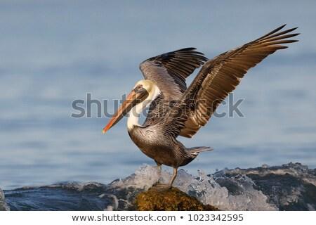 Brown pelican (Pelecanus occidentalis) stock photo © michaklootwijk