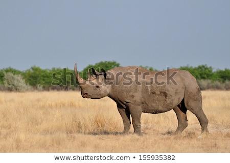 hook lipped rhinoceros diceros bicornis stock photo © dirkr
