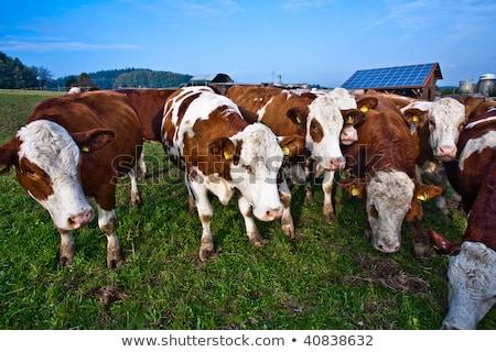friendly cattles on green granzing land are trusty Stock photo © meinzahn