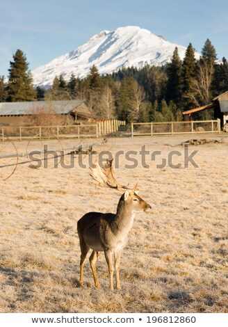 Beautiful Engaged Wildlife Young Male Buck Elk Antlers Horns Stock photo © cboswell