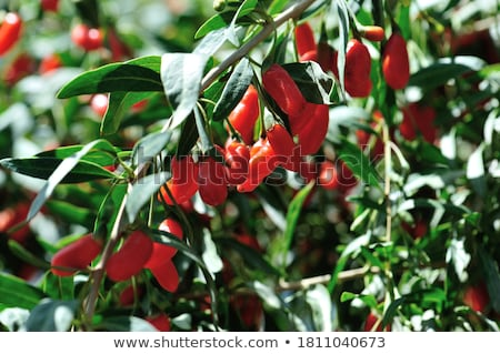 Agriculture, goji berry fruit Stock photo © simazoran