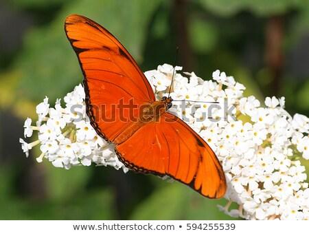 бабочка · любителей · два · бабочки · красочный · цветы - Сток-фото © hlehnerer