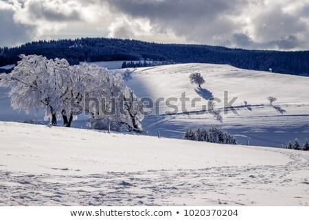 Background of some beech trees Stock photo © elxeneize