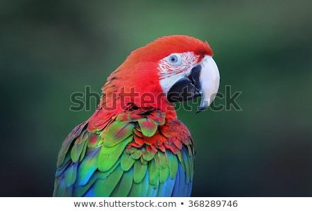 Green-Winged Macaw Stock photo © Yongkiet