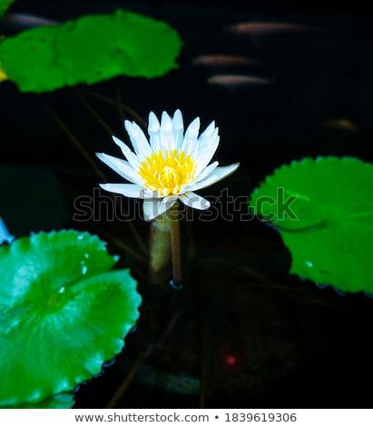 Yellow flower of Limnocharis flava Stock photo © Yongkiet