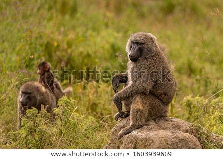 бабуин глаза волос портрет обезьяны Сток-фото © dirkr