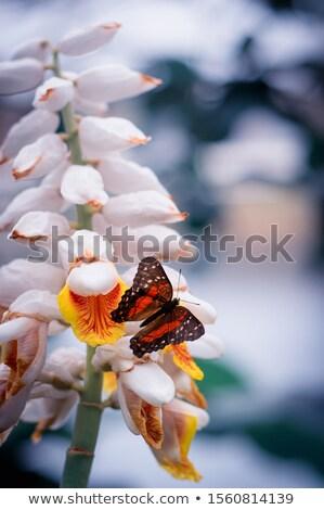 蝶 赤 孔雀 春 葉 庭園 ストックフォト © lunamarina
