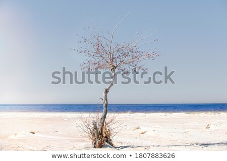 Lone alder tree at coast Stock photo © olandsfokus