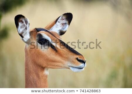 Stock photo: Female Impala (Aepyceros melampus)