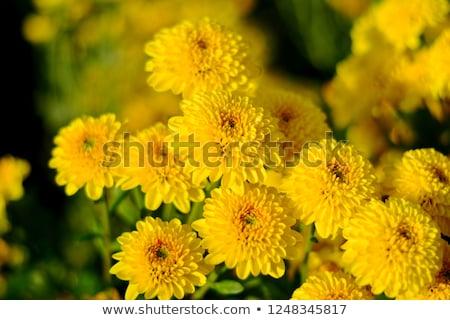 żółty chryzantema ogród tekstury jesienią Zdjęcia stock © tang90246