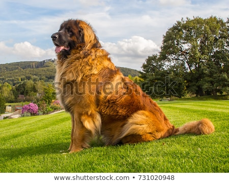 The portrait of Leonberger dog in the garden Stock photo © CaptureLight