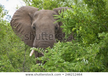 Huge male African elephant in musth Stock photo © fouroaks