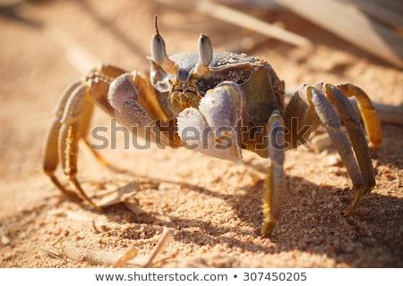 Mar rosso fantasma granchio seduta sabbia mattina Foto d'archivio © Supertrooper