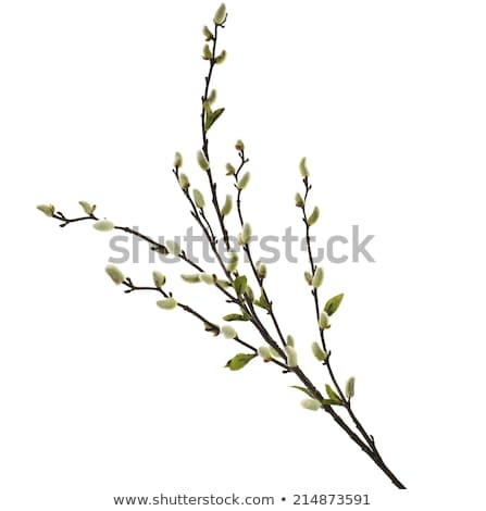 Spring season. Flowering branch with new leaves Stock photo © orensila
