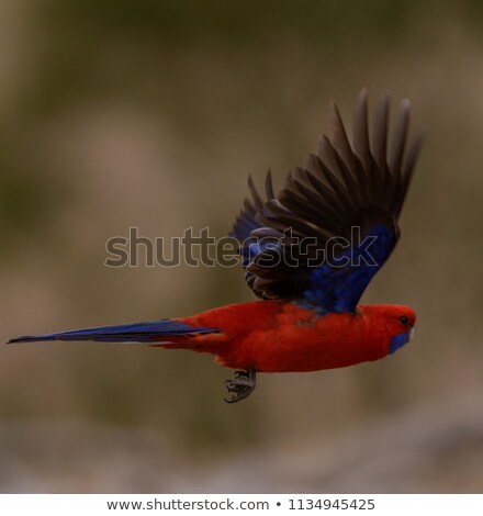 Crimson Rosella Parrot in Flight stock photo © AlienCat