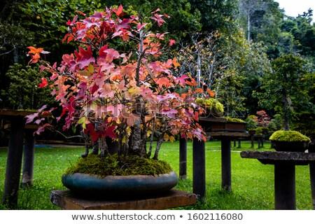 старые · клен · дерево · Японский · саду · красный - Сток-фото © artibelka