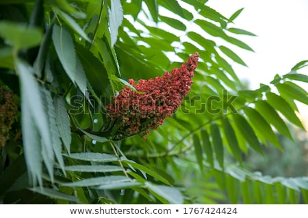 A Sumac Flower Stock photo © brm1949