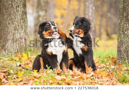 bernese mountain dog sitting in park outside stock photo © kzenon