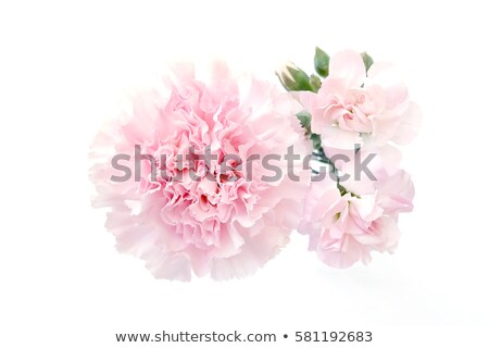a plant with carnation pink flowers stock photo © bluering
