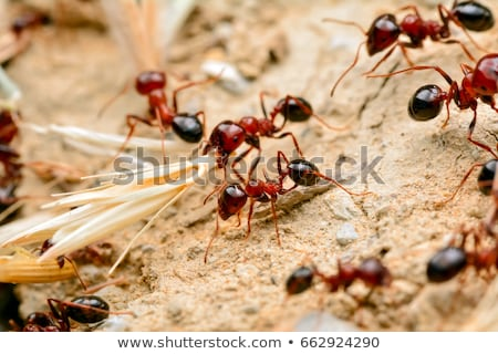 Strong jaws of red ant close-up Stock photo © Anterovium