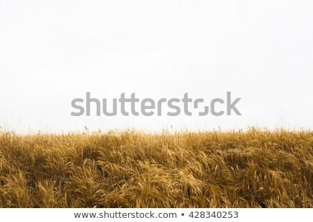 Yellow grass Stock photo © pedrosala