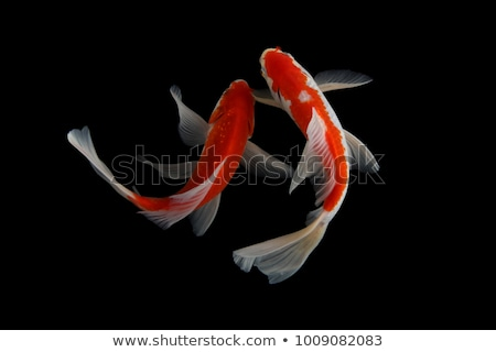 carp koi in studio Stock photo © cynoclub