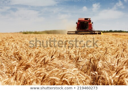 Harvesting corn crop field. Combine harvester working on plantat Stock photo © stevanovicigor