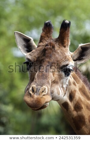 portret · giraffe · afrika · hoofd · mooie · safari - stockfoto © stefanoventuri