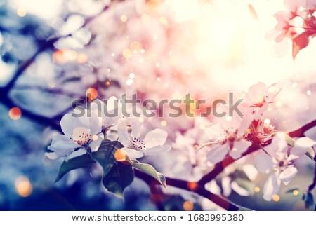 Сток-фото: красивой · яблоко · Blossom · весны · время · Blue · Sky