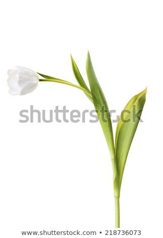 新鮮な · 美しい · チューリップ · 孤立した · 白 · 垂直 - ストックフォト © taiga