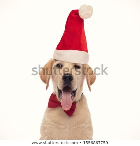 Közelkép kíváncsi zihálás labrador néz oldal Stock fotó © feedough