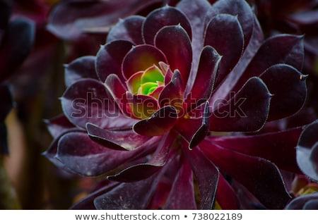 green rosettes of succulent aeonium arboreum stock photo © vapi