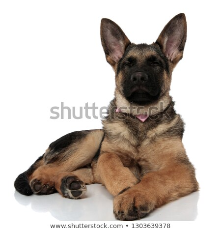 cute german shepard with pink bowtie lying with eyes closed Stock photo © feedough