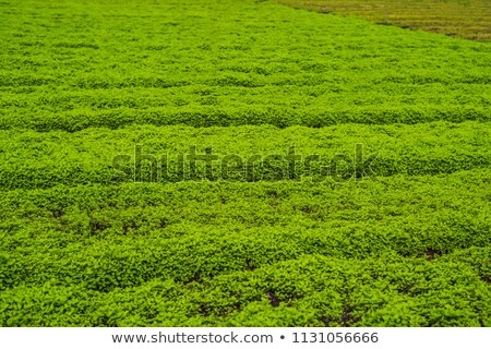 peppermint plantation organic for background fresh mint growing at vegetables planting area stock photo © galitskaya