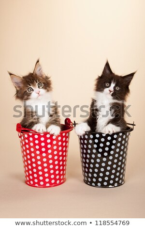 duo two red tabby with white maine coon cats stock photo © catchyimages