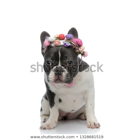 french bulldog with pink bowtie and rose headband Stock photo © feedough